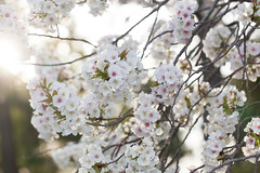Cherry blossoms (ClareC79) Tags: flowers nature beautiful japan canon kyoto cherryblossoms canon100mmf28 17100 image17 canon5dmkii 100xthe2016edition