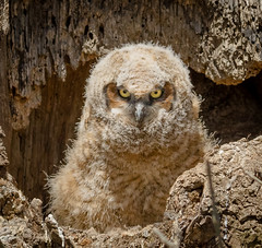 Great Horned Owlet (tresed47) Tags: birds us pennsylvania ngc content places owl lancastercounty folder greathornedowl takenby ephrata 2016 peterscamera petersphotos canon7d 201604apr 20160412middlecreekmisc