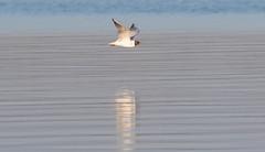 Meditaranian Gull (The Rustic Frog) Tags: camera uk wild england reflection bird water digital canon lens eos flying gull flight reservoir 7d 100400mm midlands markii meditaranian