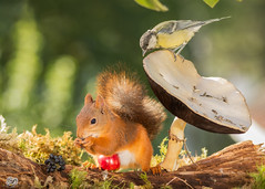 be watched (Geert Weggen) Tags: autumn light red summer  plant cute bird fall apple nature mushroom animal closeup fruit mammal happy rodent moss spring squirrel funny tit bright ground toadstool titmouse geert perennial weggen ilobsterit hardeko