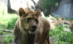 Saying Goodbye (zenseas) Tags: seattle washington sad brothers lion farewell goodbye woodlandparkzoo atthewindow panthera pantheraleo wpz pantheraleokrugeri