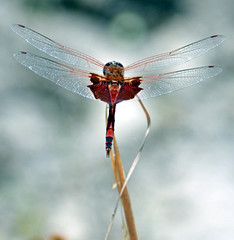 Carolina Saddlebag: Tramea carolina (Stan in FL) Tags: unitedstates florida dragonflies dragonfly inverness odonata fortcooperstatepark