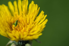 Grner Hpfer im gelben Feld (sergei.ribant) Tags: flower macro green nature yellow insect nikon bokeh blume makro insekt frhling taraxacum heuschrecke lwenzahn grashopper grashpfer d7100