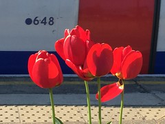 648 (Hayashina) Tags: light red london tulips tube platform
