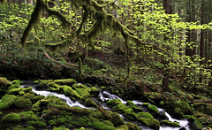 A longing for kind of place...... (McCoy352) Tags: creek moss spring hiking olympicpeninsula ferns maples douglasfirs mykindofplace