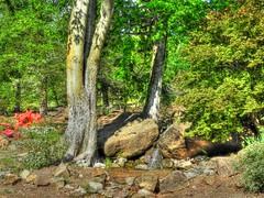 Hackberry By the Falls (clarkcg photography) Tags: park red spring rocks azaleas falls japanesemaple hackberrytree