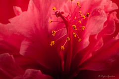 Pollen (Aguisolcr) Tags: pink flower macro flor petal amarillo polen petalos rosado pistilo plantasyflores macromondays proyecto52 fotoras beginswiththeletterp