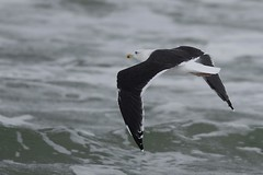 _DSC5868  Grote Mantelmeeuw : Goeland marin : Larus marinus : Mantelmowe : Greater Black-backed Gull