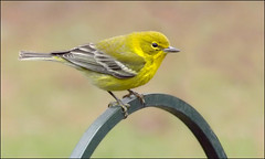Hello Yellow (ChicaD58) Tags: winter backyard colorful ngc npc cheerful pinewarbler yellowbird wintervisitor platinumheartaward dscf1692a