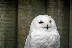 246/365 (Gene1138) Tags: bird birds canon louisville 365 snowyowl louisvilleky louisvillezoo canon70d canon28300mmeff3556l