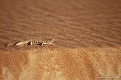 3-Oman-Desert-Marathon-Day-5_9951
