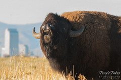 Bison and Denver. Rocky Mountain Arsenal National Wildlife Refuge.