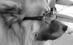 cool and trendy (Jac Hardyy) Tags: dog reflection dogs sunglasses nose glasses cool watching hund trendy eurasian reflexion snout schnauze beobachten eurasier hundeschnauze beobachtend
