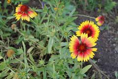 Flowers at Bravo Lake Botanical Garden in Woodlake,Ca. (GMLSKIS) Tags: california botanicalgardens woodlake bravolake