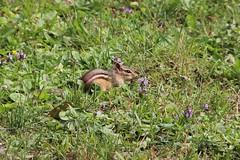 Chipmunk (The NYSIPM Image Gallery) Tags: newyork forest garden rodent farm chipmunk ipm pest rodentia tamiasstriatus integratedpestmanagement nysipm ipmprogram