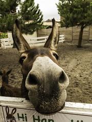 Bourrique (multimaniack) Tags: animal parc ne museau naseau bourrique hihan