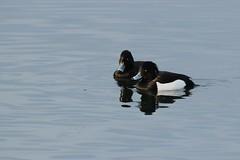 Pair of Tufted Ducks, North Cave Wetlands (robin denton) Tags: nature water birds wildlife ducks wildlifetrust yorkshirewildlifetrust northcavewetlands
