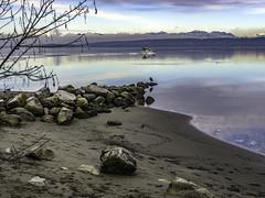 Disturbing the stillness (Tony Tomlin) Tags: ocean canada mountains heron fog boat sand bc crescentbeach