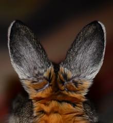 Bunny Gave Me The Rabbit Ears! (Monica.Polladore) Tags: cute rabbit bunny animal furry nikon ears rabbitears bunnyrabbit