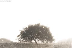 Misty Tree (arturomontes) Tags: naturaleza tree nature landscape arbol fuji paisaje niebla