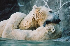 A hug and a face bite. (ucumari photography) Tags: 2003 bear animal mammal zoo oso nc north january polarbear carolina willie willy masha eisbär wilhelm ursusmaritimus シロクマ oursblanc osopolar 北极熊 ourspolaire orsopolare jääkarhu specanimal 북극곰 ucumariphotography ísbjörn niedźwiedźpolarny полярныймедведь الدبالقطبي