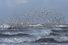 Dunlin (Keith Grafton) Tags: birds dunlin oystercatchers