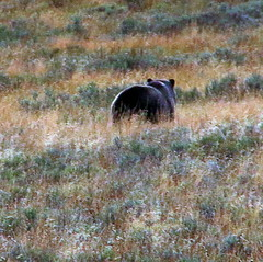 Bear Butt, Grizzly Bear in Hayden Valley - Yellowstone National Park, Wyoming (danjdavis) Tags: bear nationalpark wildlife yellowstonenationalpark yellowstone wyoming haydenvalley grizzlybear