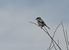 Great Grey Shrike (markusbeyer1) Tags: bird grey shrike laniusexcubitor canon70200mmf28 canon2xextender ostalb raubwrger canon5dmarkiii