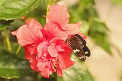 Laparus doris / The Doris (alain.maire) Tags: canada nature butterfly quebec papillon nymphalidae heliconiinae dorislongwing tropicalbutterfly heliconiusdoris jardinhamel thedoris laparusdoris papillonexotique papillonsenfête2016