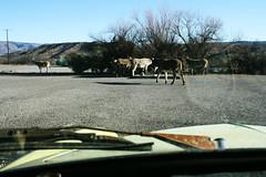 ghia and donkeys (EllenJo) Tags: arizona donkeys canonrebel burros equine digitalimage verdevalley clarkdale 2016 february3 ellenjo ellenjoroberts winterinaz lifeoutwest