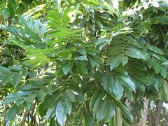 starr-091104-0985-Castanospermum_australe-leaves-Kahanu_Gardens_NTBG_Kaeleku_Hana-Maui (Starr Environmental) Tags: castanospermumaustrale