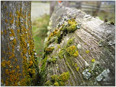 Life on a Fence .... Explore (CanMan90) Tags: macro closeup canon fence wooden moss britishcolumbia vancouverisland lichen friday splitrail islandviewbeach sd1200is