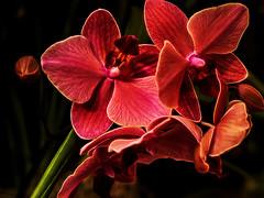 my_valentine (Flower Study 79) (gerhil) Tags: winter plant orchid flower color nature blackbackground pattern availablelight fineart tripod seasonal indoor sensual petal gesture 1001nights opulent arranged organicpattern macroandcloseupphotography topazglow january2016 olympusomdem10mkii olympusmzuiko45mmf18lens adonelightroomcc