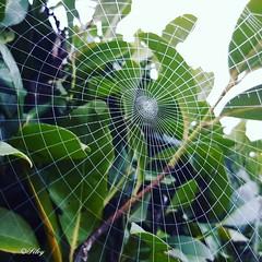 Web (silvanaprinoth) Tags: nature web details natura dettagli perfection ragnatela perfezione