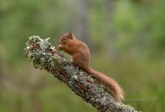 Mr Tuffty (pixellesley) Tags: uk trees forest woodland landscape scotland squirrels branch native 100400mm redsquirrel sciurusvulgaris 1dx lesleygooding