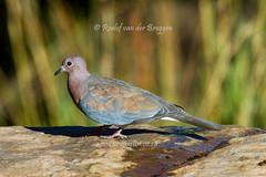 Laughing Dove, Clocolan, Dec 2015 (roelofvdb) Tags: december place dove year date 355 2015 laughingdove clocolan southernafricanbirds dovelaughing