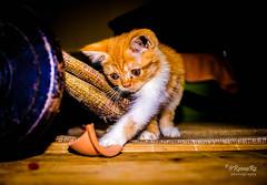 My Kitten (@RmnaRz) Tags: cats pets animals cat canon kittens kitties markii 7d2 canon7dmkii 7dmkii 7dmarkii canon7dmarkii