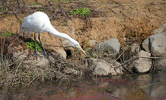 Great Egret (andrewj1882) Tags: alba ardea