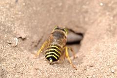 Bembix rostrata (Linnaeus, 1758). Hembra A02 (Jesús Tizón Taracido) Tags: hymenoptera apocrita aculeata crabronidae bembicinae bembixrostrata bembicini