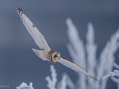 Cold Impressions (eric-d at gmx.net) Tags: eric owl eule strigidae shortearedowl asioflammeus sumpfohreule