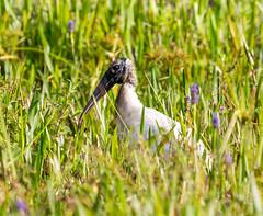 20160310-_74P2086.jpg (Lake Worth) Tags: bird nature birds animal animals canon wings florida outdoor wildlife feathers wetlands everglades waterbirds southflorida birdwatcher canonef500mmf4lisiiusm