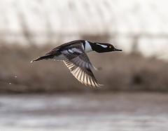 taking flight (Deb Felmey) Tags: bird duck wildlife birding flight ducks delaware waterfowl airborn primehook merganser hoodedmerganser