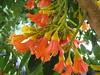 starr-120606-6867-Castanospermum_australe-flowers-Kahanu_Gardens_Hana-Maui (Starr Environmental) Tags: castanospermumaustrale
