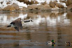 MakeWay (jmishefske) Tags: river march nikon ducks goose landing fox waukesha mallards bif barstow 2016 framepark d800e