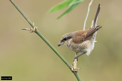Red-backed Shrike (Lanius collurio) (Dave 2x) Tags: taiwan ilan yilan shrike redbacked redbackedshrike lanius laniuscollurio collurio leastconcern