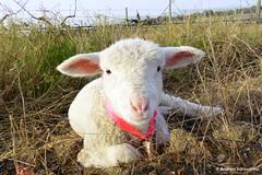 So cute (AndreiaFMS) Tags: baby cute portugal nature look animal animals olhar sheep photos farm natureza lamb campo lookatme quinta mem redondo alentejo animais sheeps babys animalia pequeno vora ovelha photographies ovelhas ovino ovisaries ovinos ovelhinha andreiasarnadinha