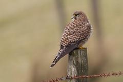 Kestrel (Andy Davis Photography) Tags: canon raptor falcon perched kestrel falcotinnunculus cudyllcoch