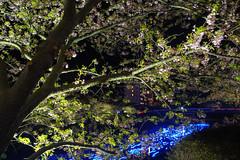 20160305-DSC_2327.jpg (d3_plus) Tags: street sea sky plant flower nature japan spring nikon scenery nightshot cloudy bloom  cherryblossom  sakura lightup nightview 28105mmf3545d nikkor    shizuoka    izu   28105   rapeblossom    28105mm  zoomlense  minamiizu    kawazuzakura    28105mmf3545 d700 281053545  nikond700 shimokamo aiafzoomnikkor28105mmf3545d nightcherryblossom 28105mmf3545af    southcherryblossomandrapeblossomfestival aiafnikkor28105mmf3545d shootingstarsandsakurainnight sakurainnight