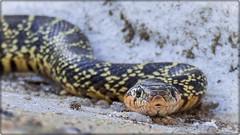 CULEBRA DE HERRADURA (BLAMANTI) Tags: reptiles serpientes culebras