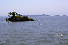 _DSC0383 (sayots) Tags: japan gull  matsushima miyagi